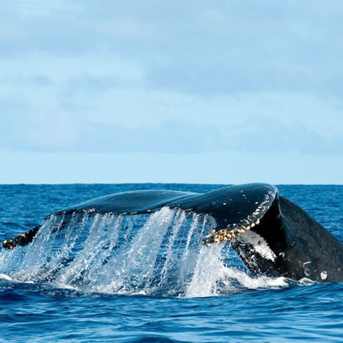 Humpback Whales - an amazing reason to visit Niue